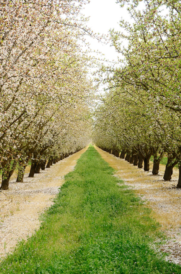 Download Almond Orchard stock photo. Image of agricultural, grass - 21698188