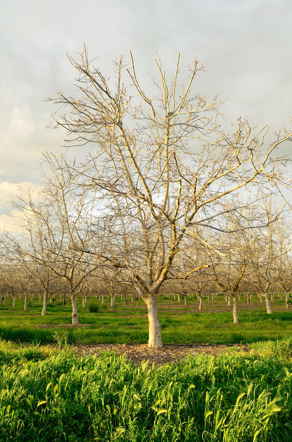 Download Almond Orchard stock photo. Image of nature, green, fruit - 21698308
