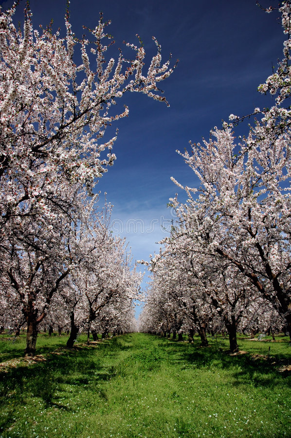 Almond Orchard In Bloom royalty free stock photography