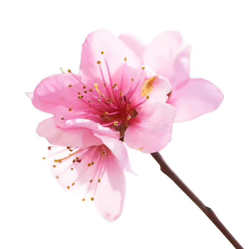Almond pink flowers stock image