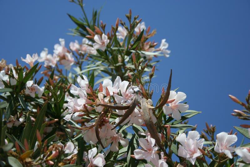 Almond tree stock photos