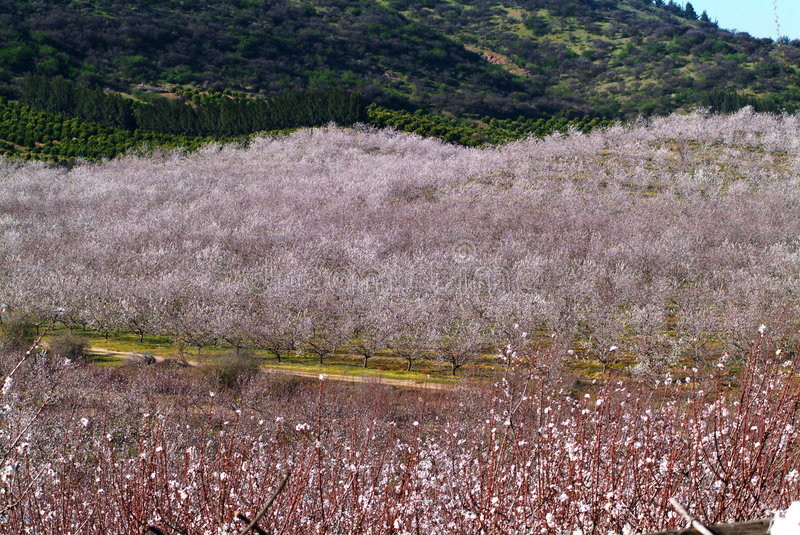 Download Almond tree stock image. Image of growth, flowers, life - 1437737