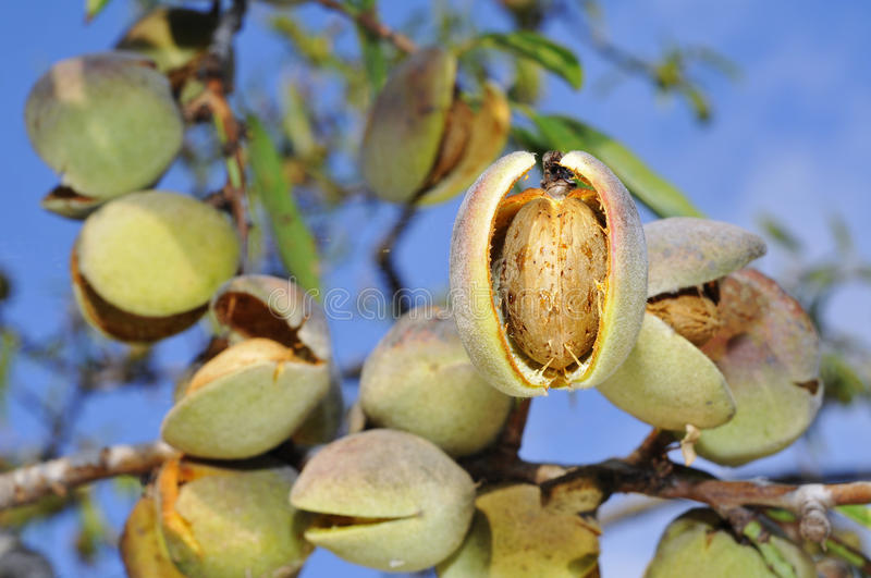 Almond tree stock photo