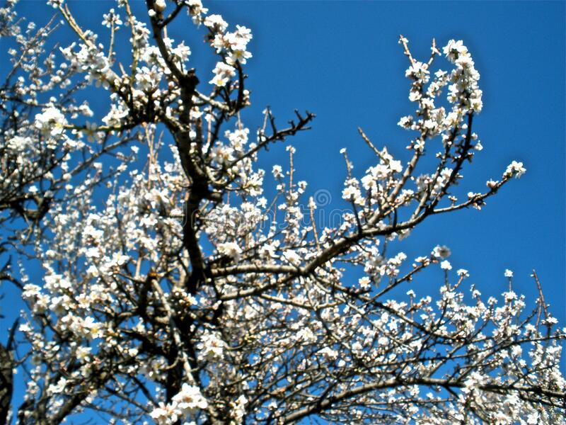 Almond Tree Free Public Domain Cc0 Image