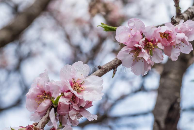 Almond tree blossom. In the middle of the winter on Costa Blanca, Spain royalty free stock images