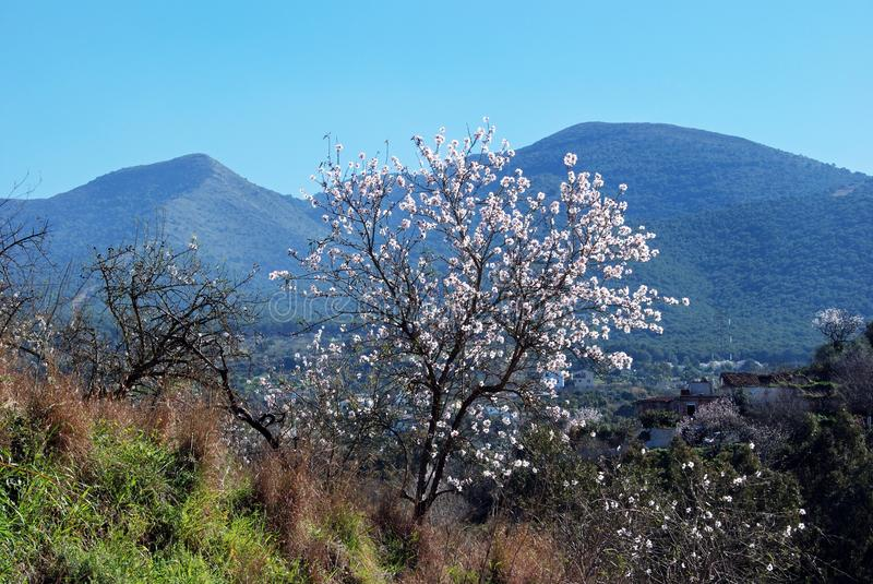 Almond tree in blossom, Andalusia, Spain. Almond tree in blossom in the Springtime, Near Alhaurin el Grande, Mijas Costa, Malaga Province, Andalucia, Spain royalty free stock photos