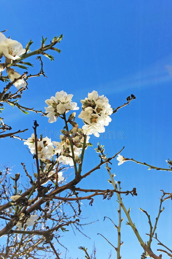 Almond tree blossom. On beautiful blue sky on the background with copy space stock image