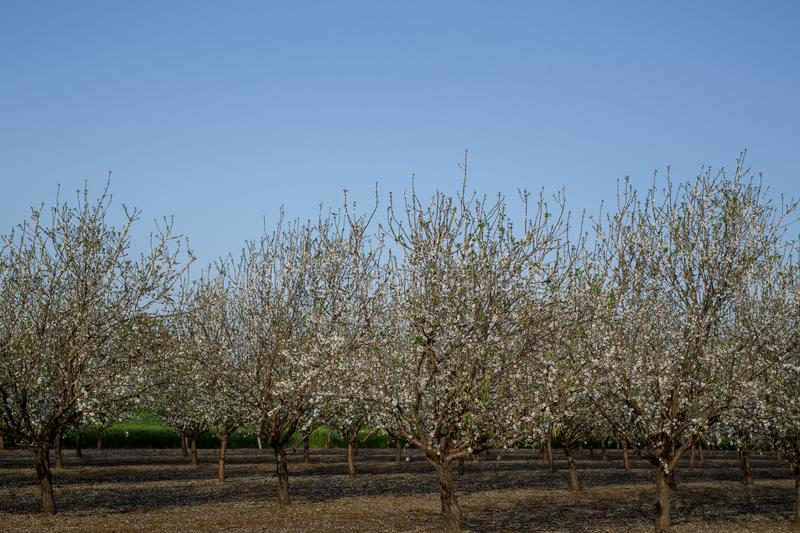 .Almond tree blossom in spring time of February and march. Almonds for food industry. Almonds and marzipan stock image
