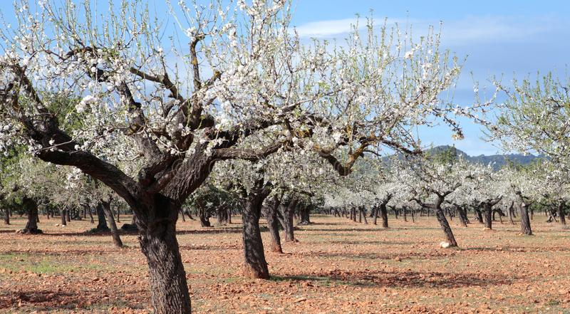 Blossoming almond tree field wide stock photography