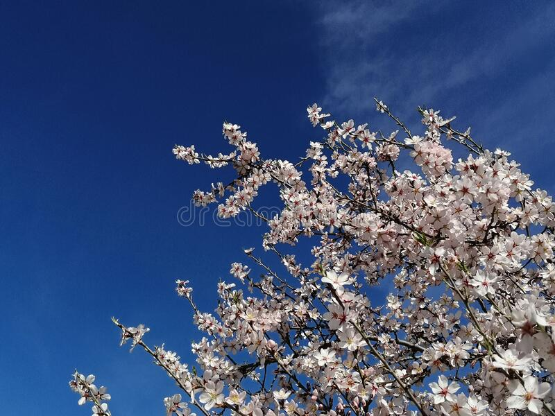 Almond Tree Blossoms Blooms Winter Flowers Budding Branches Blue Sky. Almond tree blossoms blooms flowering branches february winter flowers pink white blue sky stock images