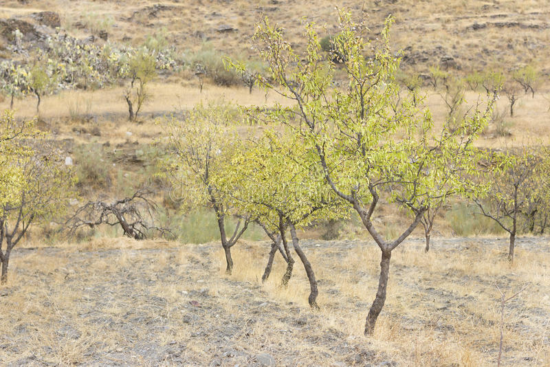 Almond tree cultivation. Rural scene of a cultivated land with some almond trees lined up stock photography