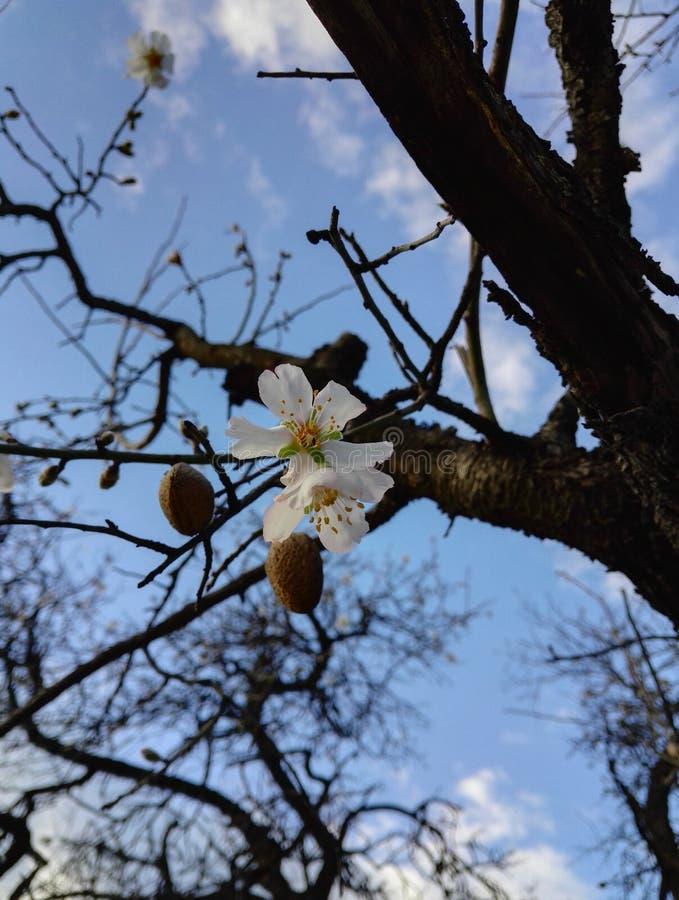Almond tree stock image