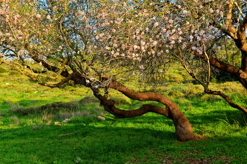 Almond tree. Flowering old almond tree stock photography