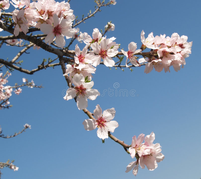 Almond tree flowers. Several almond tree flowers on a blue sky i an clear spring day royalty free stock images