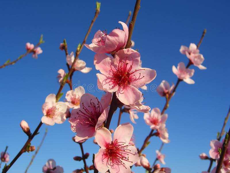 Almond tree flowers with blue sky background royalty free stock photography
