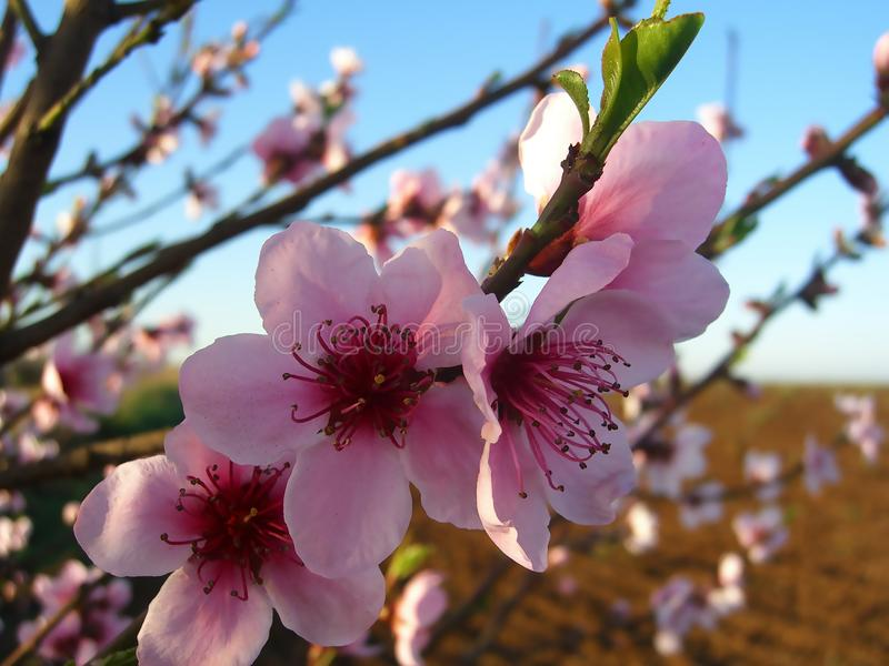 Almond tree flowers with blue sky with clouds background stock images