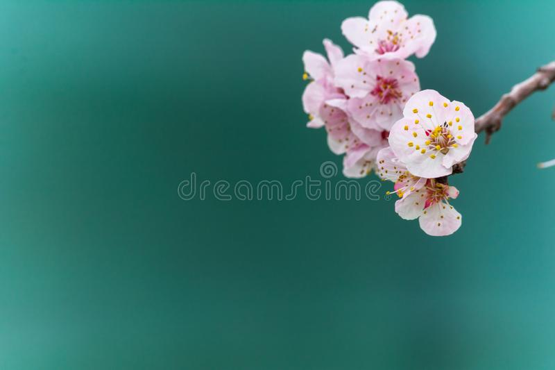 Almond Tree Flowers in a Cloudy Day. On Blurred Background abstract apricot art beautiful beauty bloom blooming blossom bokeh botany branch cherry close closeup stock photos