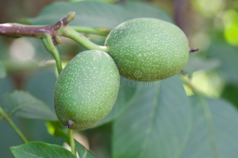 Almond tree with green almonds royalty free stock image