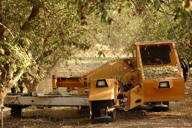 Almond tree at the harvest time stock photos