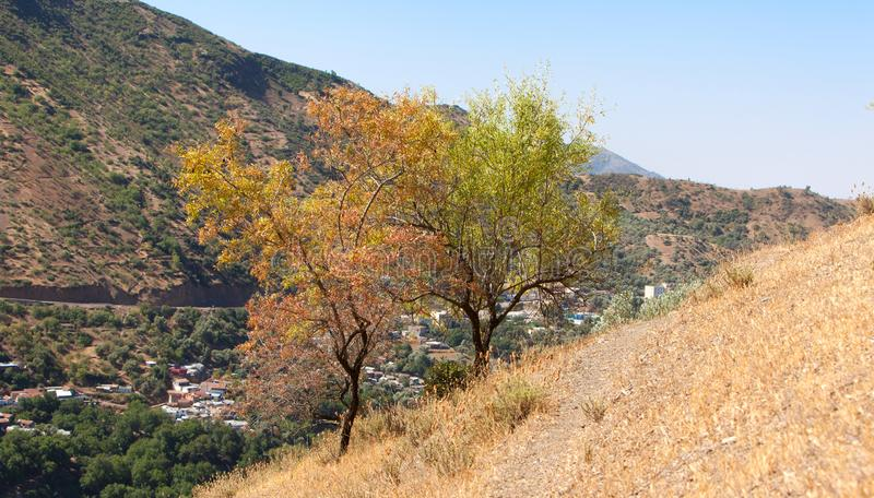 Almond tree landscape in morocco, royalty free stock image