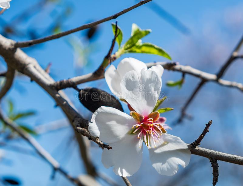 Almond tree pink-white blossom against blue sky royalty free stock photos