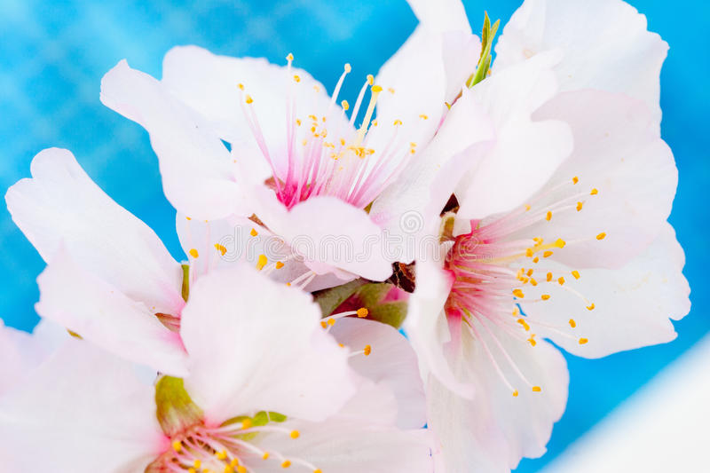 Almond tree pink-white blossoms blossoming in February in Cyprus royalty free stock photography