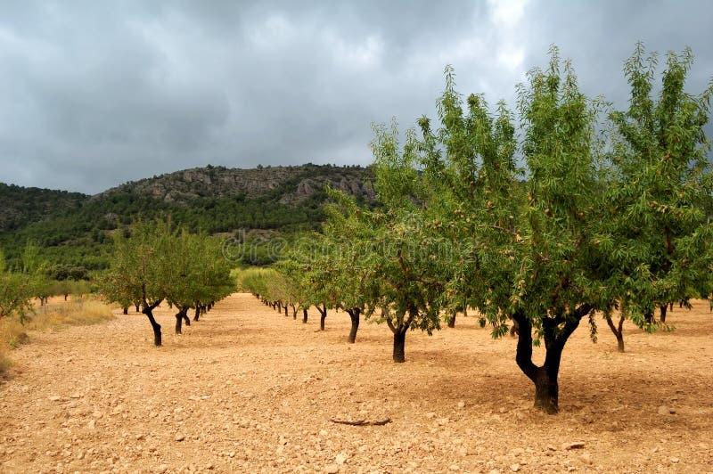 Almond tree with ripe fruits stock photos