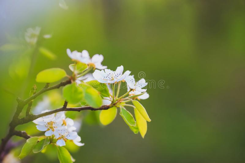 Almond tree at spring, fresh white flowers on the branch of fruit tree. Spring stock image