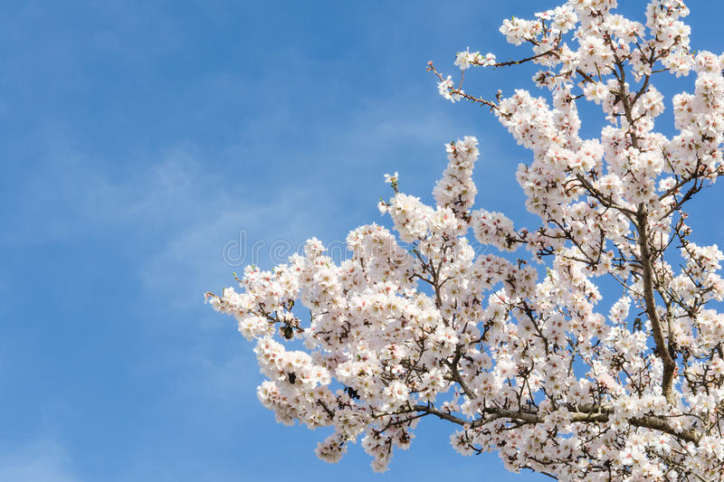 Almond tree springtime blooming of white flowers over blue sky. With free space for your text stock photo