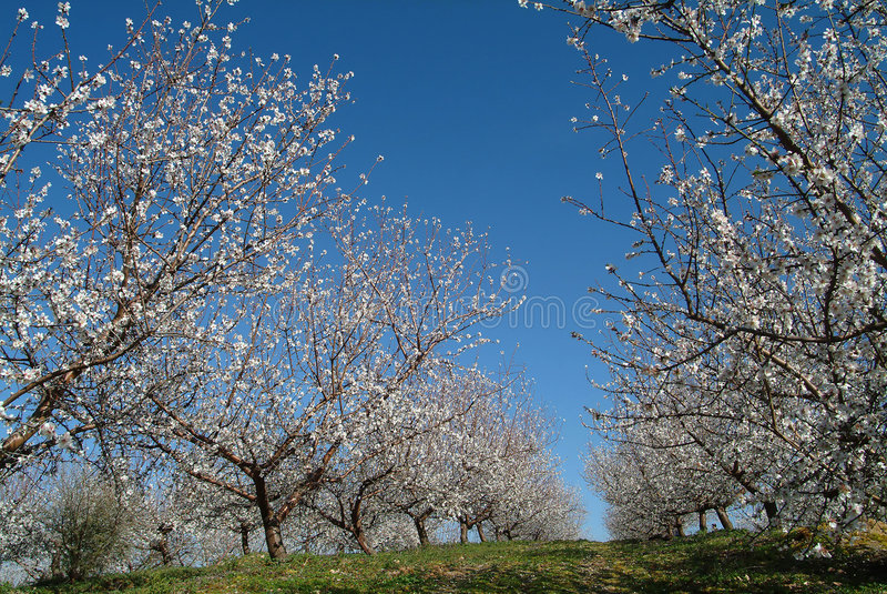 almond trees στοκ φωτογραφία με δικαίωμα ελεύθερης χρήσης