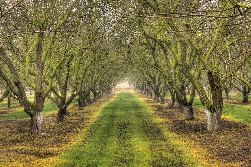 Download Almond Trees stock image. Image of trees, almond, winter - 18355703
