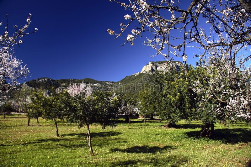 Download Almond Trees stock image. Image of natural, flora, blue - 2277469