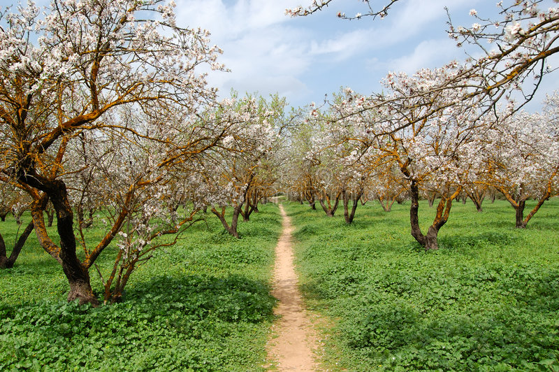 Almond trees royalty free stock image
