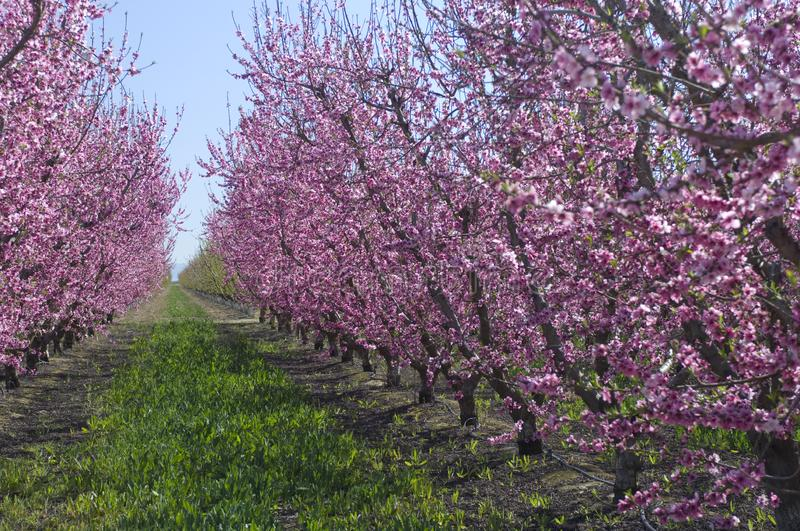Almond trees covered in blooming pink flowers, grow in rows in t. Almond trees in the California Valley stock images