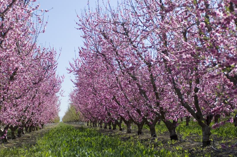 Almond trees covered in blooming pink flowers, grow in rows in t. Almond trees in the California Valley royalty free stock photos