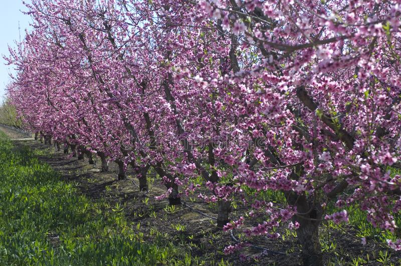 Almond trees covered in blooming pink flowers, grow in rows in t. Almond trees in the California Valley stock image