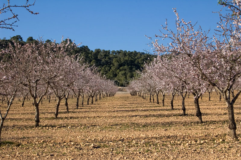 Almond trees in flower royalty free stock photos