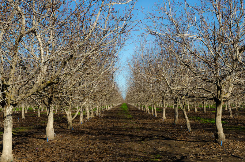 Almond Trees. Lined Almond trees not in bloom royalty free stock photo