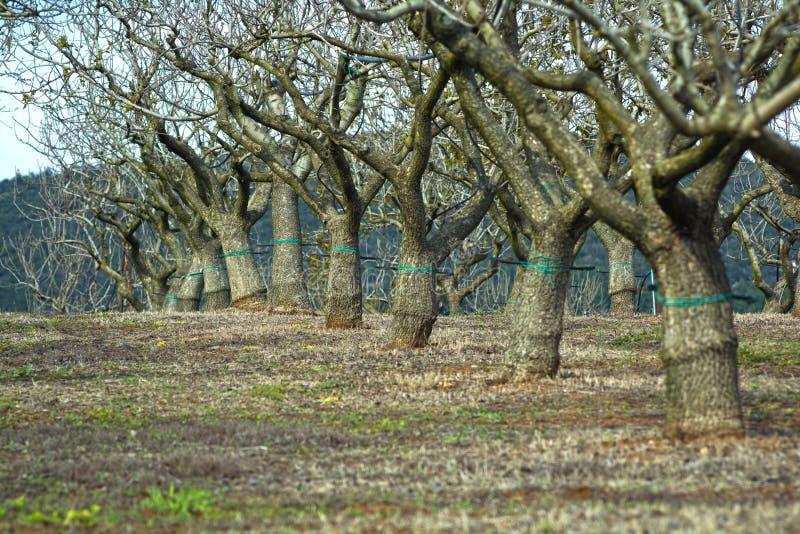 Almond trees royalty free stock photo