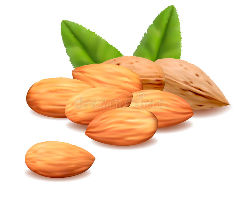 Almond.Vector illustration de vecteur