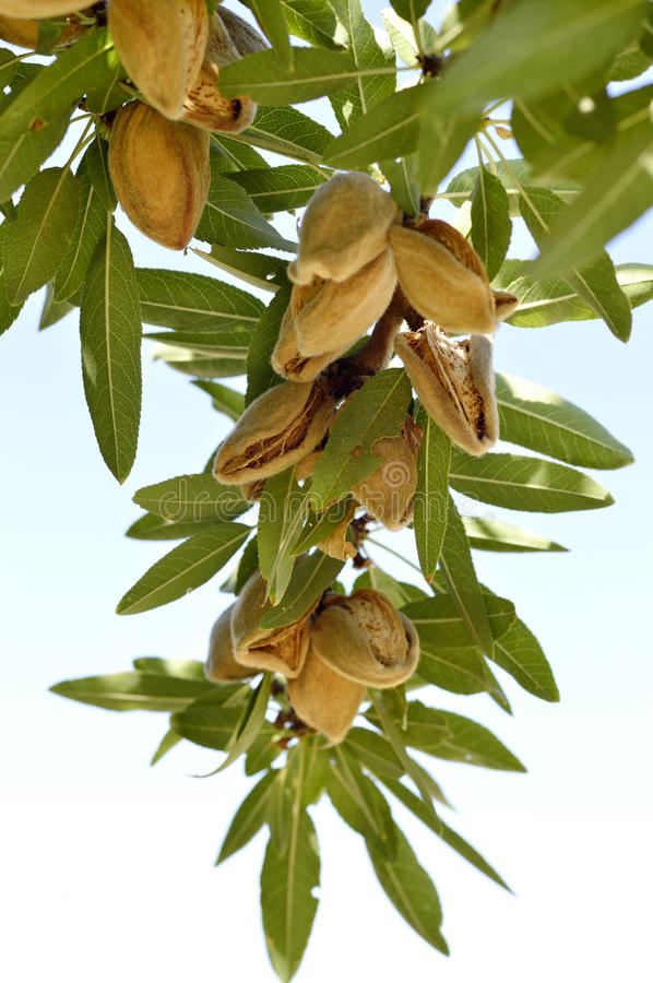 Almonds on a branch. stock photo