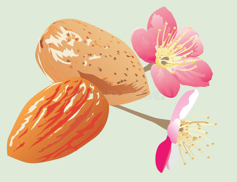 Download Almonds and flowers stock vector. Illustration of flower - 10521558