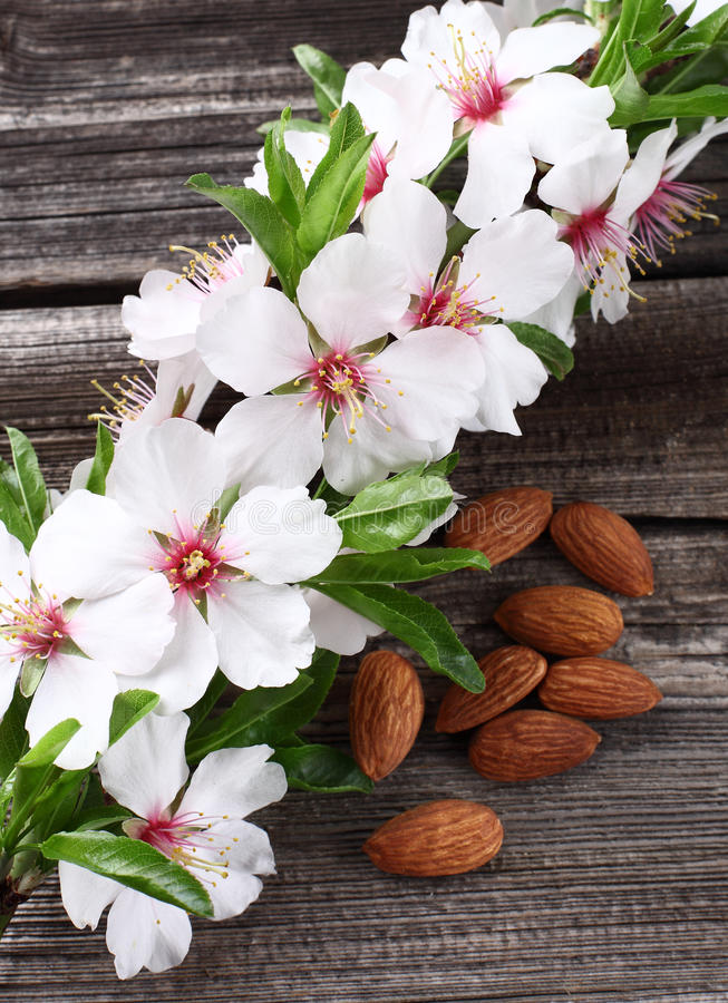 Almonds flowers stock images