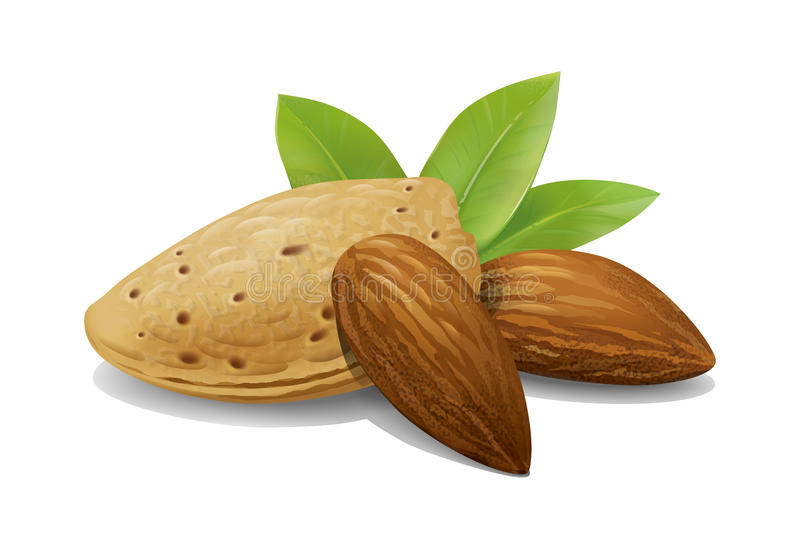 Almonds illustration. Detailed illustration of still life almonds with leaves