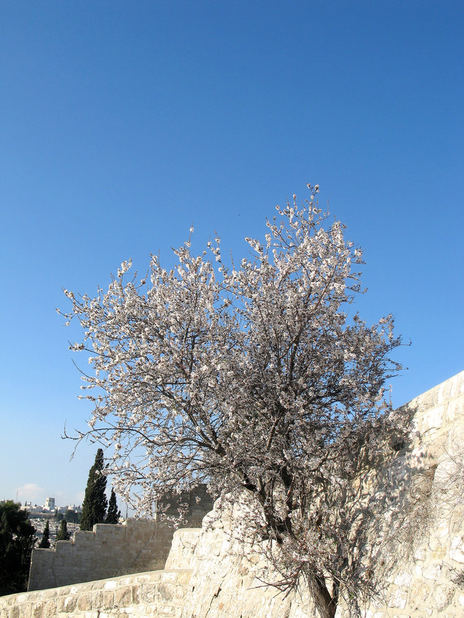 Download Almonds In Jerusalem Royalty Free Stock Images - Image: 2237239