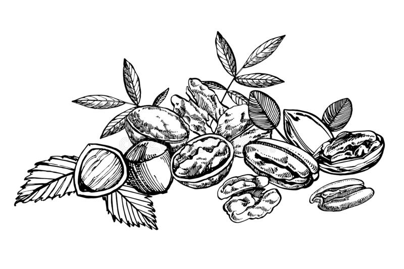 Almonds, Pecan, Cashew nuts, Hazelnut, Pine nuts, Walnuts and Nutmeg sketch illustrations. Vector Hand drawn. Illustrations isolated on white background stock illustration