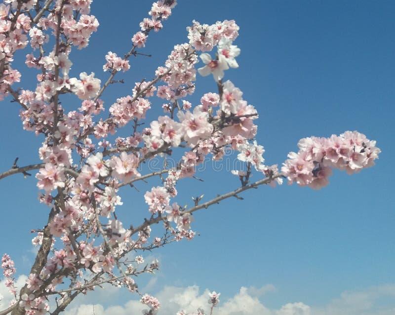 Almondtrees. Alicante Spain stock photos