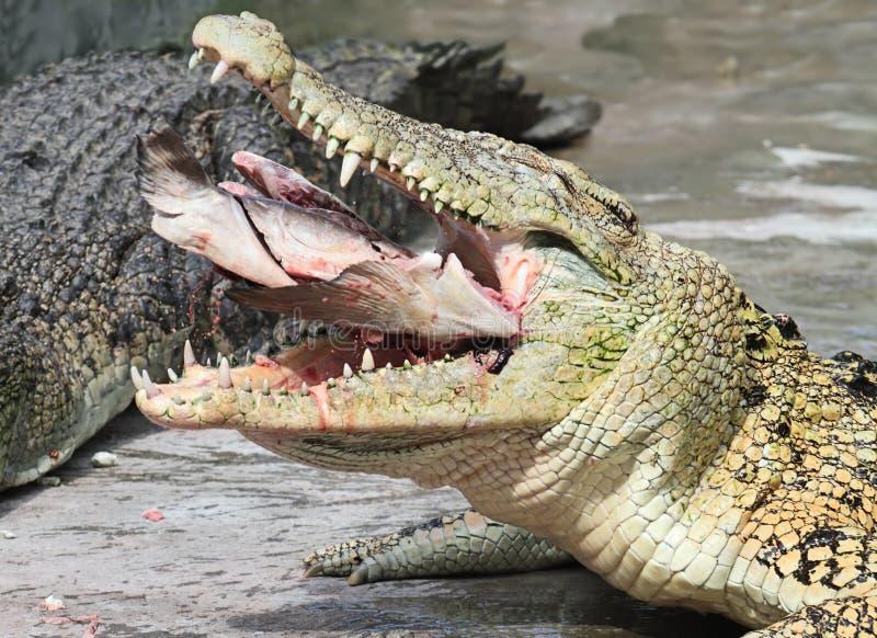 Almuerzo del cocodrilo foto de archivo libre de regalías