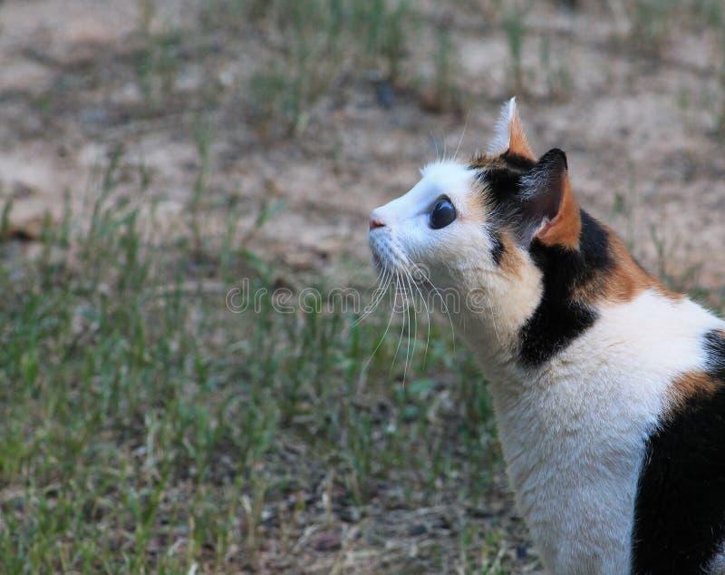 Almuerzo gato-manchado calicó fotografía de archivo