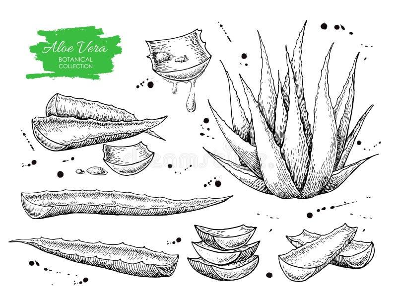 Aloès botanique tiré par la main Vera de vecteur illustration de vecteur